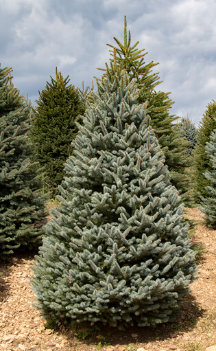 For a history of the Christmas tree industry in North Carolina visit the NCSU Extension Christmas Tree Program.