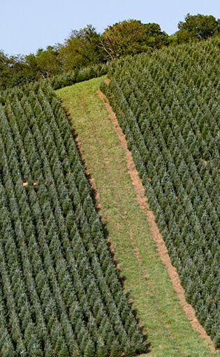 pix quickfactsjpg - How Many Christmas Trees Per Acre