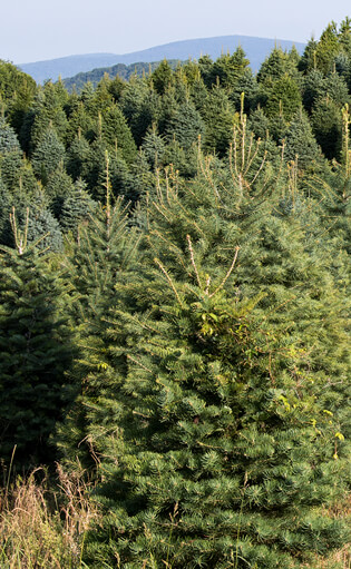 source national christmas tree association - Christmas Tree Types